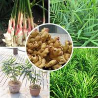 100 pcs Perene Sementes de Gengibre sementes de hortaliças zingiber officinale sementes varanda frutas e legumes frete grátis
