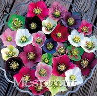 Pianta della novità, Colorful Elleboro (Rosa di Natale) Helleborus Niger Fiore Seed, Bonsai Fiore Pianta Per La Casa Cortile 100 Pz