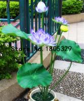 Piante acquatiche Seme di semi di loto Lotus 5 Pz Giant Water Lily Lotus Seeds Decorazione del giardino Pianta 100% Genuine Rainbow Seeds