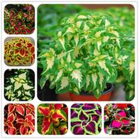 100pcs Janpanse 분재 레어 Coleus의 씨앗 꽃의 씨앗 아름다운 단풍의 식물 완벽한 색상 레인보우 드래곤 씨앗 쉽게 성장할 수