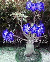 2 Pcs Desert Rose Graines Balcon Bonsaï Fleurs Ornementales Adenium Obesum Graines Absorption de Graines De Fleur De Formaldéhyde à Vendre