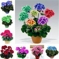 100 Pcs Drawf Bonsaï Géranium graines Rare Variegée De Géranium Fleur De Graine En Pot D'hiver Jardin Fleur pour Bonsaï Plante pour Graden