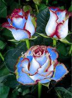 200 PC의 / 가방 장미 씨앗 더블 기쁨 하이브리드 차 장미 분재 꽃 씨앗 홈 정원 식물에 대한 아름다운 여러해 장미 꽃잎