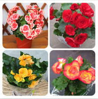 094b846cbe6bf 50 Pcs Bag Begonia Seeds Mixed Color Beautiful Bonsai Flower Begonia Seed Begonia  Plant Potted Family Garden Balcony