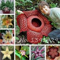 Vente chaude 100 pcs / sac Stapelia Pulchella Graines Léopard Succulentes Peau Lithops Graines De Fleurs Maison Jardin Fleur Bonsaï Plantes