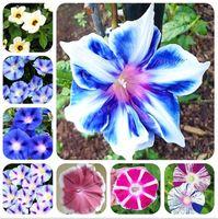 50 Pcs / Sac Picotee Gloire Au Matin Graines Rares Pétunia Bonsaï Fleur Plante Pour La Maison Jardin Facile À Cultiver Si Belle Parfumé