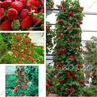 100個の赤い登山のイチゴの木の種のエキゾチックな多色イチゴの種子の果実の種子植物農家屋内植物