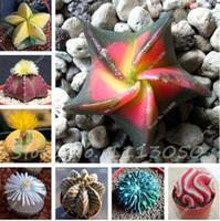 20 Pcs Étoile à cinq branches Meaty Graines Radioprotection Graines Succulentes Importées Cactus Bonsaï Semences En Pot pour La Maison Jardin
