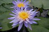 Nymphaea Alexi Тропическая Фиолетовая Водяная Лилия. Продается как голое корневое растение