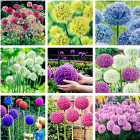 이국적인 양파 씨앗 거대한 알리늄 씨앗 여러 가지 빛깔의 발코니 화분에 담긴 꽃 (흰색 보라색 녹색) 30 개 관상용 꽃 씨앗