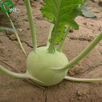 Kohlrabies 씨앗 정원 식물 분재 유기농 과일 및 채소 씨앗 50pcs