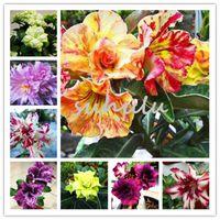 3 pcs / bag 사막 로즈 씨앗, Adenium Obesum 씨앗 더블 꽃잎 분재 꽃 씨앗 가정 정원에 대한 100 % 진정한 씨앗 화분