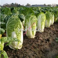 200PCS 성장하기 쉬운 중국 맛있는 양배추 씨앗 영양가있는 녹색 야채 씨앗 브라 시카 Pekinensis 식물 정원 용품