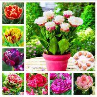 2 ampoules 100% vraie ampoule de tulipe, fleur de tulipe, (ampoule de tulipe), ampoule de fleur symbolise l'amour, plante à fleurs Tulipanes pour le jardin de la maison