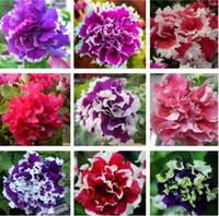 Doppel Petals Petunia Samen Bonsai Blumensamen Kurze Höhe Garten Blumen Samen Indoor Oder Ourdoor Hausgarten Bonsai 100 Stücke für Verkauf