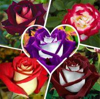 300 PC의 / 가방 멀티 컬러 로즈 씨앗 분재의 꽃 씨앗 - 아주 아름다운 백퍼센트 진정한 씨앗 홈 가든 분재 공장