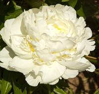 الفاوانيا - لمبة البذور الجذر الأبيض والبذور
