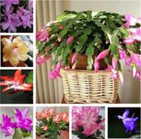 50個のPCS Zygocactus Truncatus、Schlumbergera Seeds、屋内鉢植えの植物、緑の植物とても美しい花の種はあなたの庭を照らす