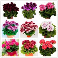Véritable importation graines de géranium plantes vivaces de bonsaï de fleur Pelargonium en pot pour la décoration de jardin -20 pcs / sac