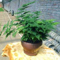 Espargos Setaceus Sementes, Decoração de casa Bonsai Sementes de árvores 10 partículas / saco