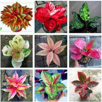 50個/バッグaglaonema 'Pink Dud'、美しいモザイク植物多年紀の常緑樹の木花種子、観葉植物のホームガーデン