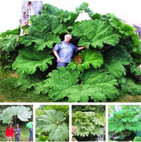 Seeds Pcs Bag 50 Called Huge Manicata Shade Rhubarb Gunnera Grow Partial In Also Giant Leaves Outdoor Plant Garden Pxrui