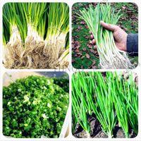 100 sztuk Spring Cebula Nasiona, Giant Chinese Green Cebula Nasiona, chińskie nasiona warzyw, Home Garden Bonsai Roślina
