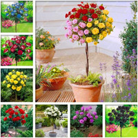 100 unids / bolsa rosa árbol rosa semillas bonsai semillas de flores semillas de árboles rosas chinas 18 colores dan amante planta para jardín