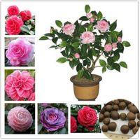 5 graines / paquet de vraies graines de camélia, graines de fleurs de couleur mélangée, plantes en pot de bricolage, plante d'intérieur / extérieure de pot de bonsaï pour le jardin à la maison