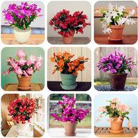 100 Unids Epiphyllum Semillas, Bonsai Semillas de Interior, Hermosa Floración Semillas de Cactus Crecimiento Natural para el Hogar Jardín Planta Suculenta