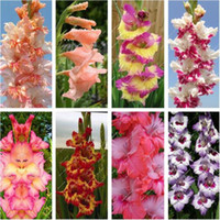 50 pcs / bolsa de semilla de gladiolo, (no de bulbos de gladiolo), semillas de flor de gladiolo, 97% semillas de lirio de espada raras en ciernes Plantas en macetas aeróbicas