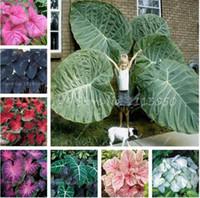 Sale 30 Pc Caladium Indoor Plants 씨 플로리다 Caladium 2 색 씨앗 분재 Colocasia 식물 홈 가든을위한 희귀 한 꽃 씨앗