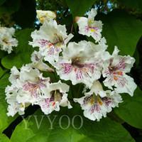 다년생 Catalpa의 씨앗 분재의 나무의 씨앗 아주 아름다운 실내 나무 홈 정원 식물 30 마리의 입자 / 가방 J07