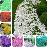 200 Pcs 다채로운 ROCK CRESS 씨앗 또는 들어온 백리향 종자 - 다년생 지상 커버 꽃, 홈 가든 장식을위한 단풍 식물