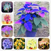 100 st Poinsettia frön, Euphorbia Pulcherrima, krukväxter, sällsynta blommande växter frön för heminredning utomhusblomma frön