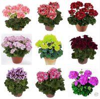 20 Pçs / saco 100% Verdadeiras Sementes de Gerânio Em Vasos Varanda Plantio Estações Pelargonium Sementes de Flores Em Vasos para Bonsai Interior Cor Misturada