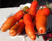 희소 한 토마토 씨앗 Zabava- 재미있는 유기농 러시아어 가보 종자 다년생 식물 집 정원용 비 GMO 식물 냄비 100 개 / 봉지