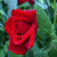 Freies verschiffen billig populäre rosensamen anziehen farbe rosa lila 60 test samen pro paket hausegarten samen