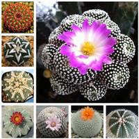 100 pcs Exotique Graines De Cactus Japonais Rare Succulentes Graines Fleur Sementes Bonsaï Graines Plantes Intérieures Fleurs Vivaces Jardin
