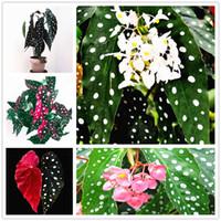 Grande promotion !!! Rare bonsaï pcs / sac, graines de bégonia, plante de jardin en pot Vague d'intérieur 100 ponte graines, feuilles de graines, hqsik