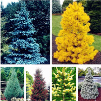 30 Pcs Colorado Blue fir seeds plants Blue Spruce Seeds Pice...