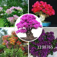 50個/バッグBougainvillea種子美しい多年生の花の種カラフルなブーゲンビリアSpectabilis Willd Seeds Garden Bonsai Pot Plots
