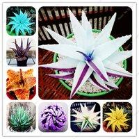 100 Pcs graines arc-en-Bonsai Aloe Succulent Plantes Mini Jardin mixte de Lucky Aloe Plantation comestibles Beauté fruits Vegeable Pot Plantes de jardin