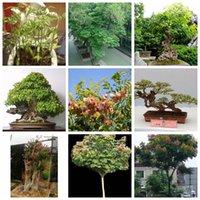 20 adet / torba İthal Fener Ağacı Paniculata DIY Ev Bahçe Bonsai bitki tohumları Açık Yaygın Ekili Süs Luan Shu Ağacı Bitki