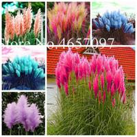 2020 Arrivée New 1000pcs / set Pampas herbe Belle graines d'herbe bonsaïs jardin des plantes chinois dropshipping gros