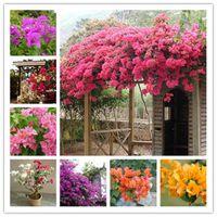 200個/バッグBougainvillea Bonsai SeedsカラフルなブーゲンビリアSpectabilis Willd Planenial Flower Plant Garden Bonsai Pot Platt