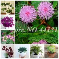 50 Pcs Seeds Mimosa Pudica Bonsai Balcony Flower Potted Outdoor Foliage Plants Predict Earthquakes Fun Bashfulgrass for Garden Decor