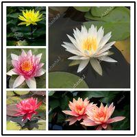 20 Pçs Lotus Flor Lotus Bonsai Sementes Aquáticas Plantas Bacia Lótus Lírio De Água Bonsai Perene Nymphaea Planta para Home Garden