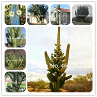 100 Pezzi/Pacco Promozione! Rare Gaint Torcia Cactus, Bonsai Flores piante in vaso All'aperto Fiore Succulente Plantas Fai Da Te Casa Giardino Semi