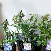 8 tipos de Semente De Mirtilo Semente De Frutas Vasos de Bonsai Planta Árvore Semente Do Vaccinium Jardim Decoração Bonsai Flor Sementes-100 pcs para venda